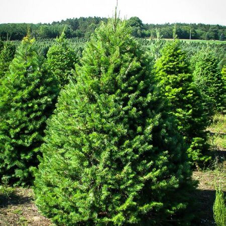 Doug Fir 5-8 ft
