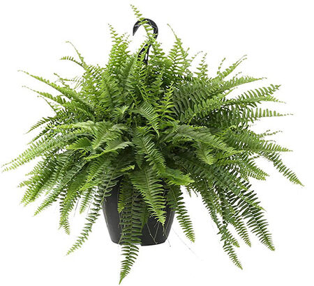 Basket Hanging Fern 10""