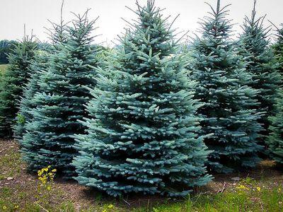 Blue Spruce 5-8 ft