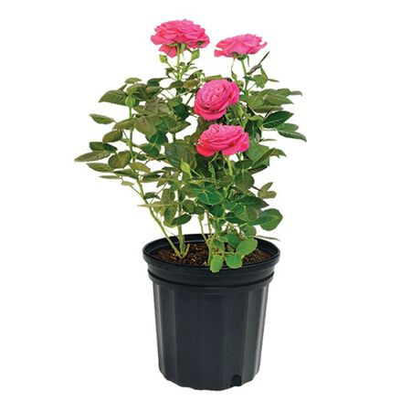 Rose Bush Assorted 2gal