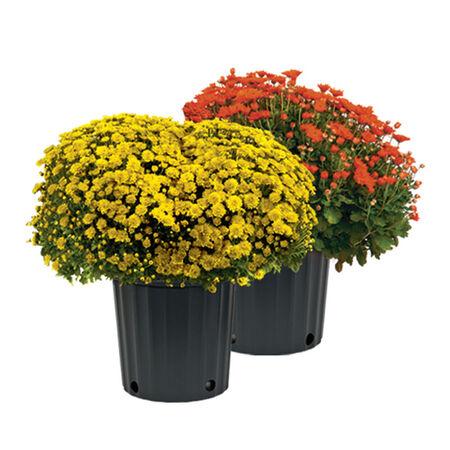 3 gallon Assorted Plant Mum
