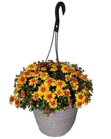 "10"" Assorted Hanging Basket Mum"
