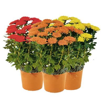 "1 quart Plant Mum 6""-6/12"" Assorted Colors"