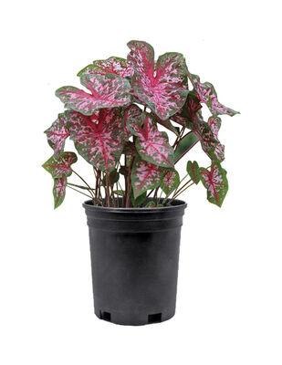 Caladium Plant 1 Gallon
