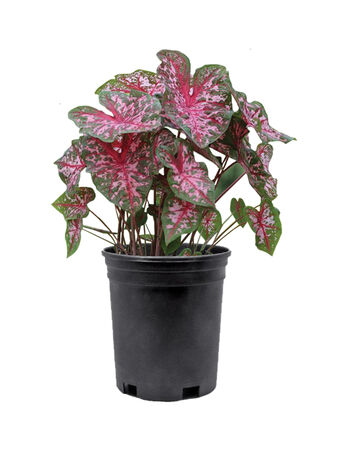 Caladium Plant 1 Gallon