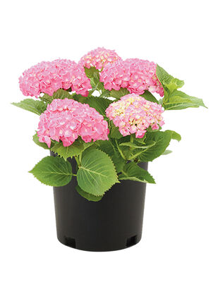 Hydrangea Plant Assorted 3 Gallon