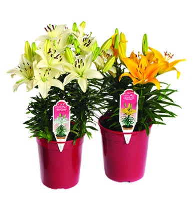 One Gallon Asiatic Lilies