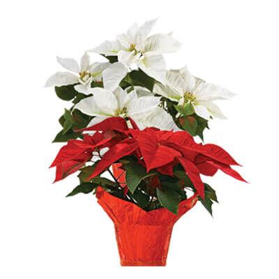 "Annual Poinsettia 10"""