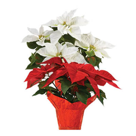 Annual Poinsettia 10""